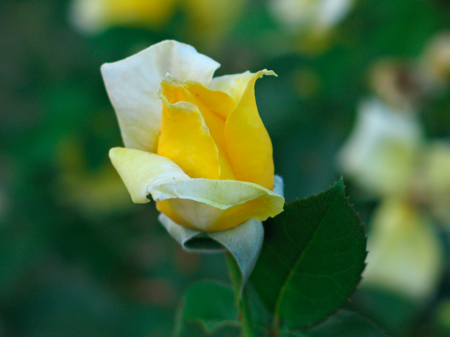 extreme closeup, Richard Lund, Single Yellow Rose
