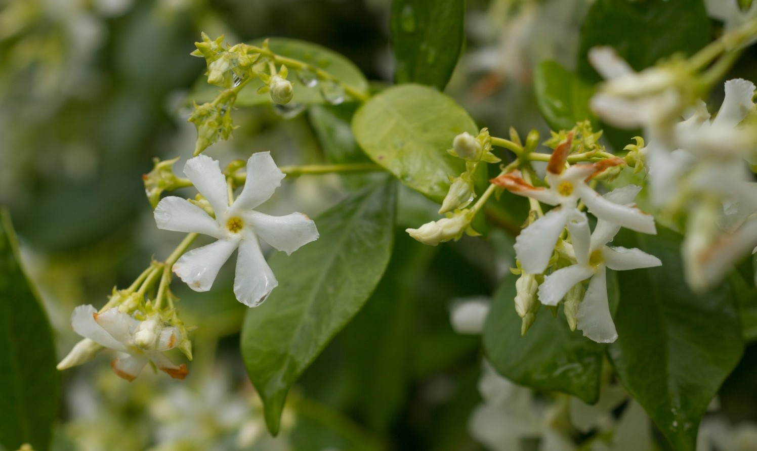 Jasmine flowers after rain, delicate roughness, Richard Lund